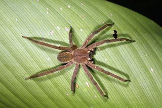 Wandering spider in Peru