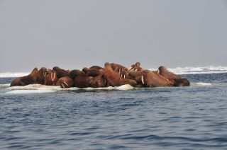 Walruses Resting on Melting Arctic Sea Ice