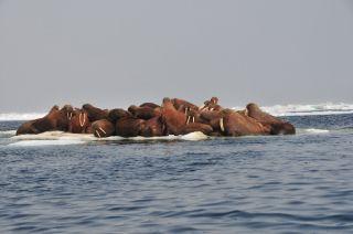 Receding Sea Ice Chases Walruses to Alaska Coast | Live Science