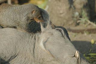 Mongooses groom a warthog.