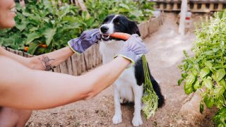 Vegan pet food: Border Collie in vegetable garden holding carrot in his mouth