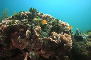 coral diversity in the caribbean