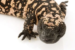 Gila monster lizard (<i>Heloderma suspectum</i>