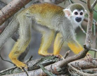 squirrel monkey news, zoo monkey webcams, watch monkeys online, animals, zoo babies
