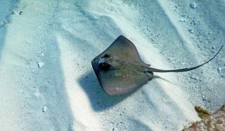 Aerial view of a stingray swimming along the ocean floor.
