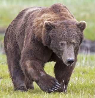 Grizzly Bear in Meadow