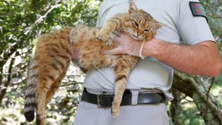 """A French Forest and Hunting Office employee holds up a """"cat-fox"""" thought to be a new feline species."""