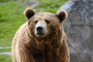 Grizzly bear populations are on the rebound in Yellowstone.