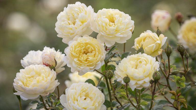 nye bevan david austin yellow shrub rose