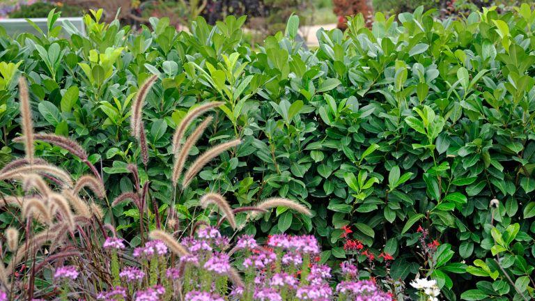 cherry laurel, one of the best low maintenance hedge plants