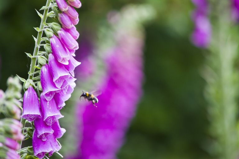 growing foxgloves in a garden getty images 1250088905
