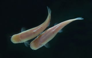 blind somalian cave fish evolved long ago in perpetual darkness