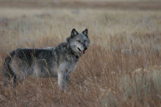 wolves-yellowstone-park-100903-02