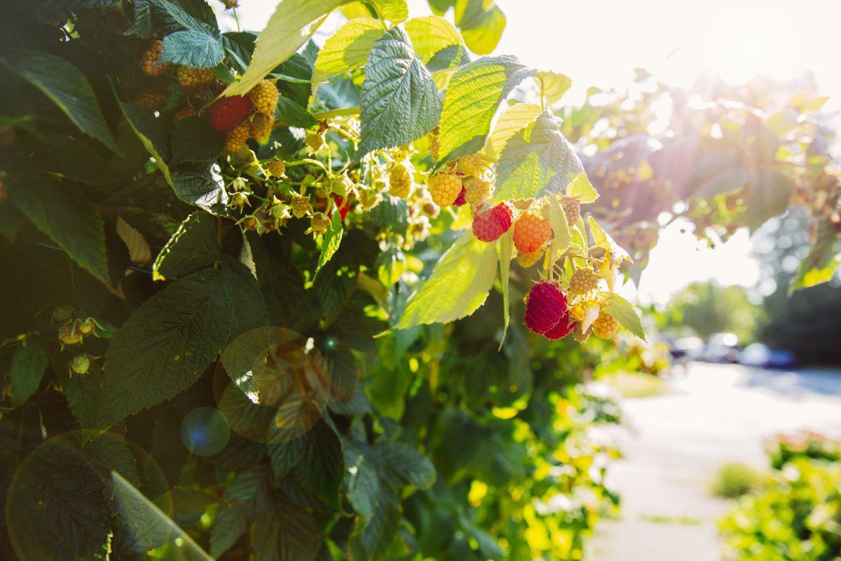 Taste success growing raspberries with these top tips from gardening expert Carol Klein