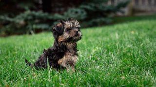 teacup dog breeds morkie