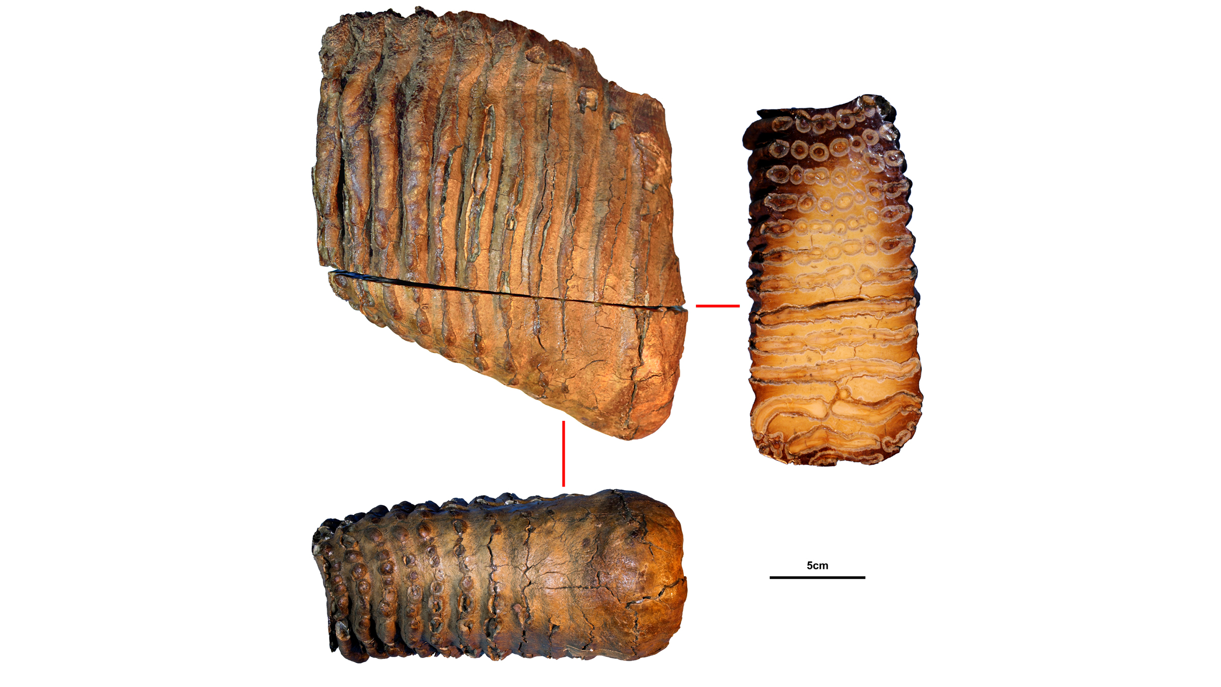 The molar of the mysterious mammoth Krestovka, who lived about 1.2 million years ago.