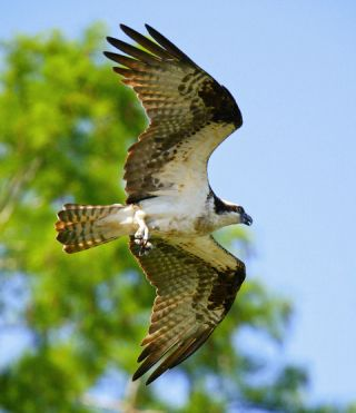 voices, Bryan Watts, William and Mary, osprey