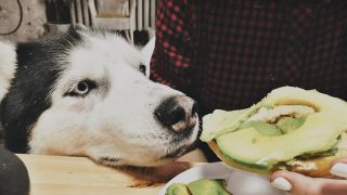 Can dogs eat avocado? Dog sniffing plate of avocado on toast