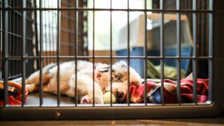 Crate games for dogs: Australian Shepherd puppy lying in his crate