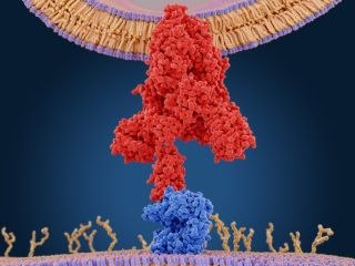 "The coronavirus binds to human cells through a ""spike"" protein."