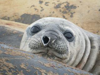 elephant seal Jackson long-distance travel