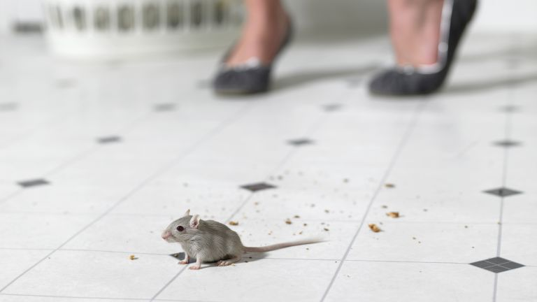 How to get rid of mice: Mouse on kitchen floor by Getty Images