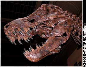Tyrannosaurus Rex Facts About T Rex King Of The Dinosaurs Live Science