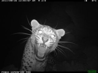 Persian Leopard Afghanistan camera trap