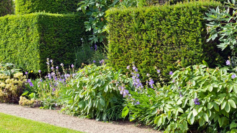 best hedging plants - clipped yew hedges in an English garden