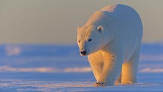 A polar bear treks by Kaktovik in Alaska's Arctic National Wildlife Refuge (ANWR).