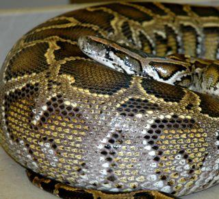 burmese python digesting a meal of rats