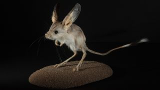 The long-eared jerboa, a desert rodent, has the largest ears, relative to the size of its body, of any animal.