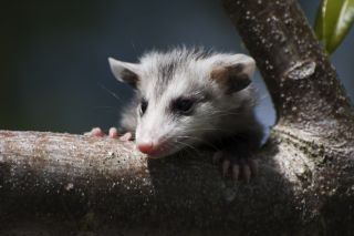 Facts About the Common Opossum | Live Science