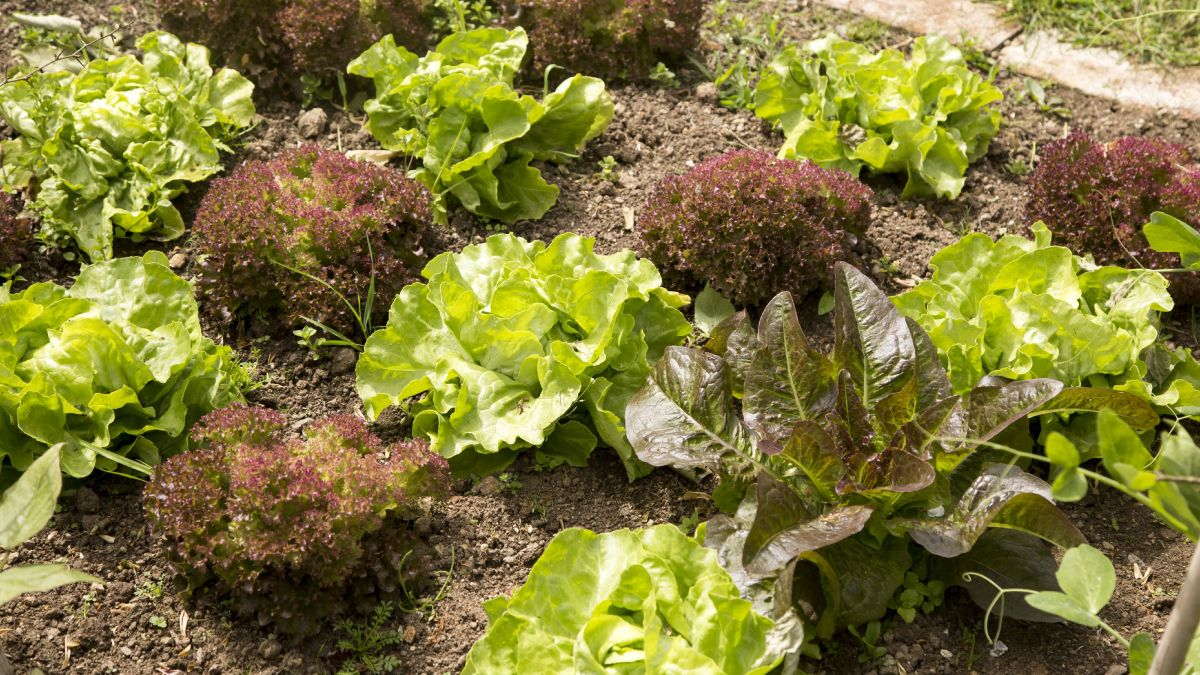 Follow Monty Don's tips on growing lettuce and enjoy fresh salad all summer