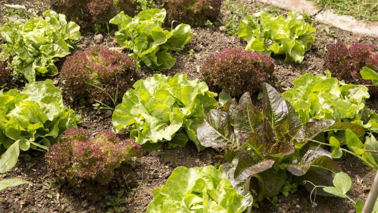 Monty Don's tips on growing lettuce
