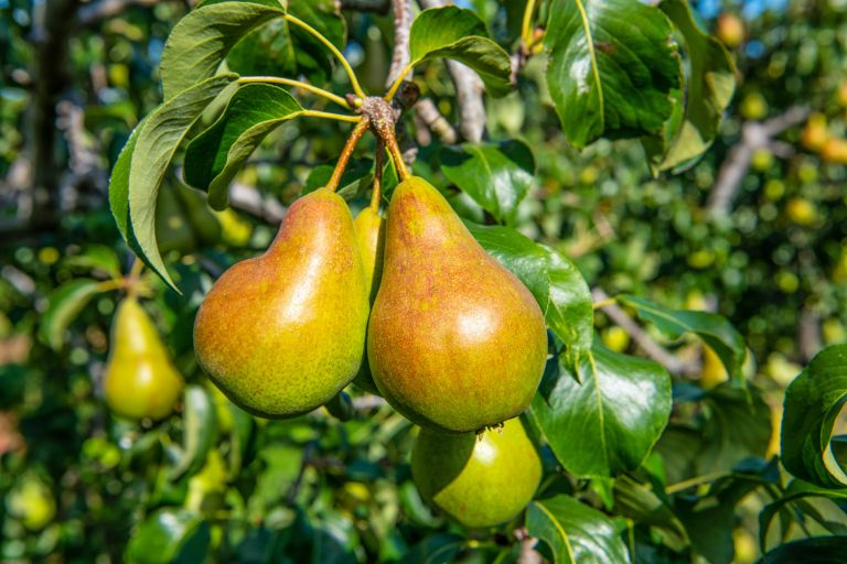 pear tree covered in ripe pears