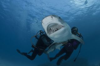 Tiger Shark Restrained Underwater