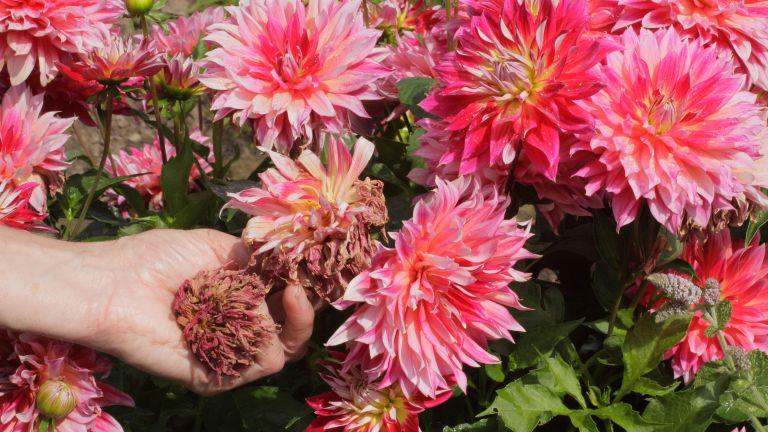 person deadheading pink dahlias in a garden border