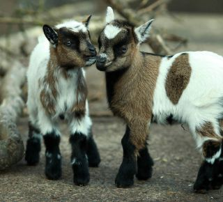 Twin African pygmy goat kids born at Belfast Zoo