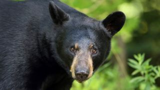 A photo of a black bear's face looking at the camera in Ontario, Canada.