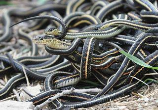 a garter snake matinb ball