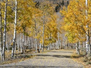 Pando grove in the fall.