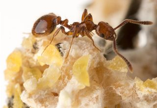 This parasitic ant, called <i>Megalomyrmex symmetochus</i>, crashes colonies of fungus-farming ants (<i>Sericomyrmex amabilis</i>), eating their crops and killing their babies.