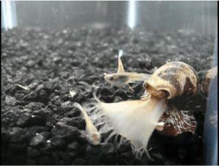 conus tulipa, cone snail