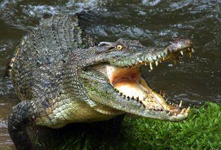 crocodile, australian