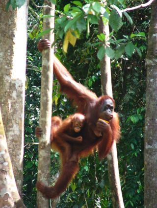 An orangutan adult and child