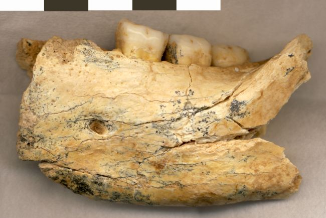 An ancient hominin jawbone unearthed in a Serbian cave may be more than half a million years old. CREDIT: Mirjana Roksandic