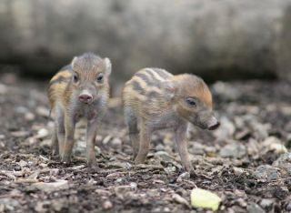 pigs-maleah-malu-110805-02