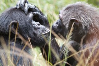 Two chimpanzees interact.
