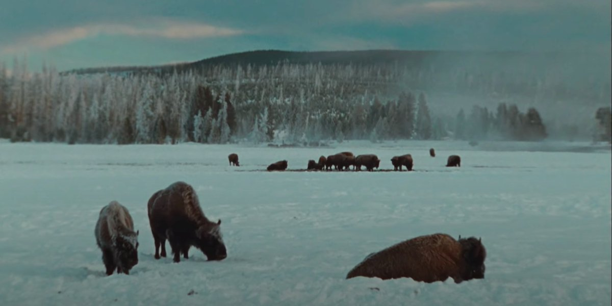 Buffalos in Yellowstone National Park in The National Parks: America's Best Idea